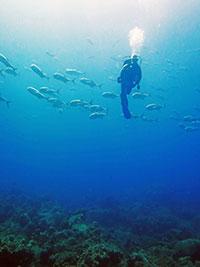 scuba diver descends in the Flower Garden Banks National Marine Sanctuary